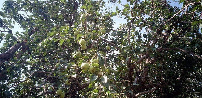 عطر میوه های تابستانی در باغ سیب مهرشهر