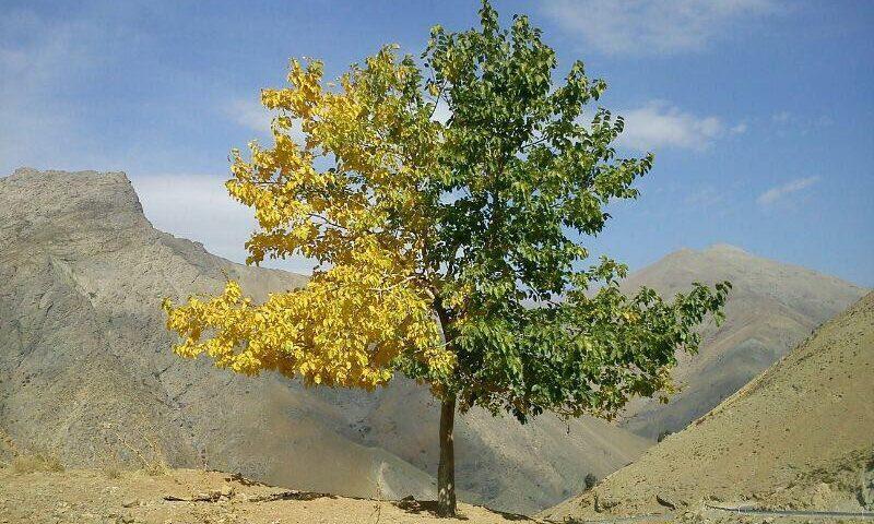 درختی که یک طرفش تابستان و یک طرفش پاییز است