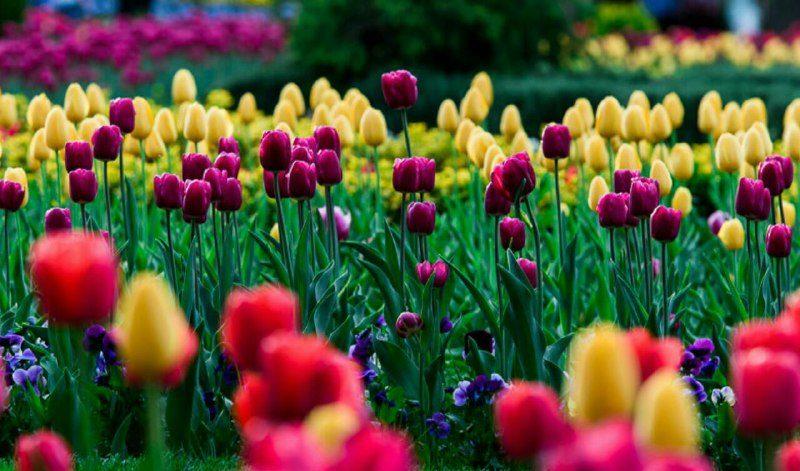 جشنواره گلهای داوودی در سال اینده