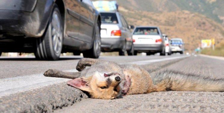 افزایش تلفات جادهای گونههای حیات وحش در البرز