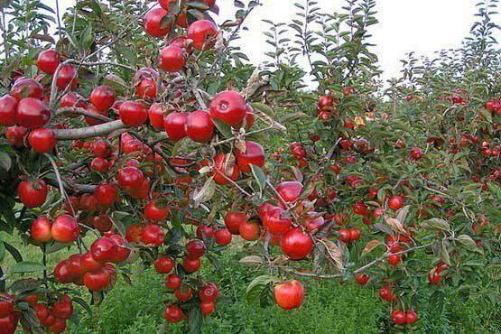 ️حال خوب باغ سیب مهرشهر کرج