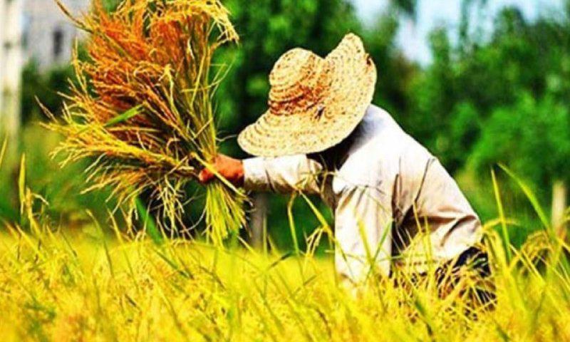 برداشت برنج در کرج