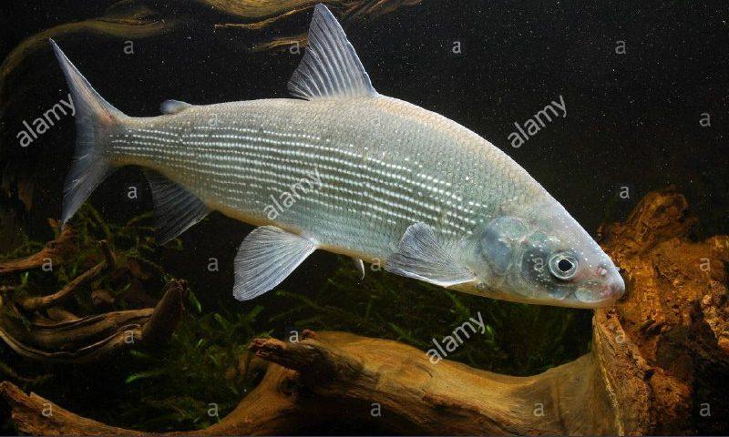 """سدکرج، زیستگاه موقت ماهی """"کورگونوس """""""
