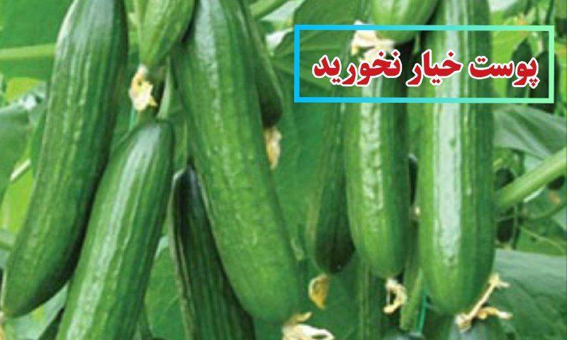 نیترات خیارهای بازار استان البرز بالاتر از حد مجاز