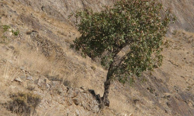 واریان،درخت بنه یا پسته ی کوهی