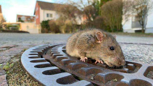 اعتراض یک شهروند فردیسی به تعداد افزایش حیوانات موذی